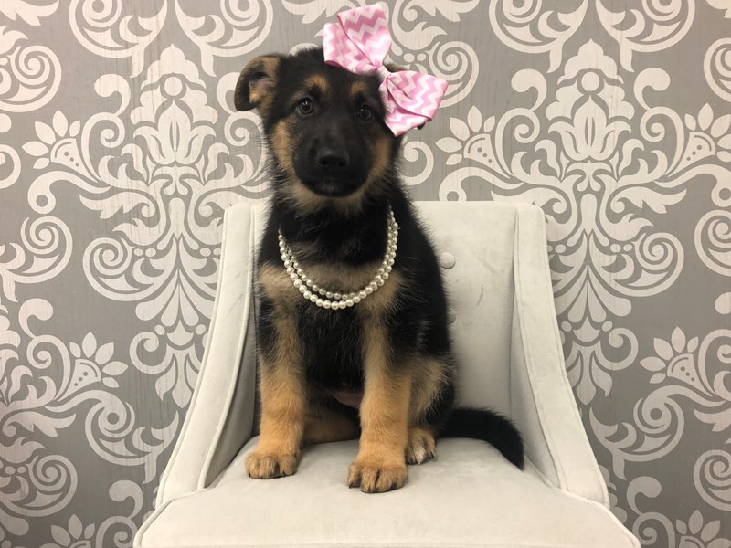 German Shepherd-Female-black tan-2571249-Furry Babies