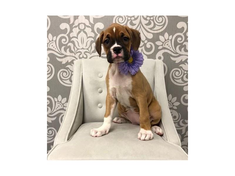 Boxer-Female-Fawn White-2595646-Furry Babies