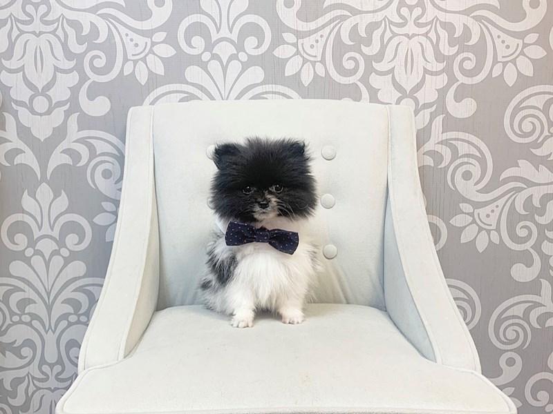 Pomeranian-Male--2621583-Furry Babies