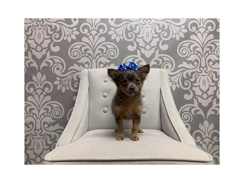 Chihuahua-Female-LAVENDER-2625063-Furry Babies