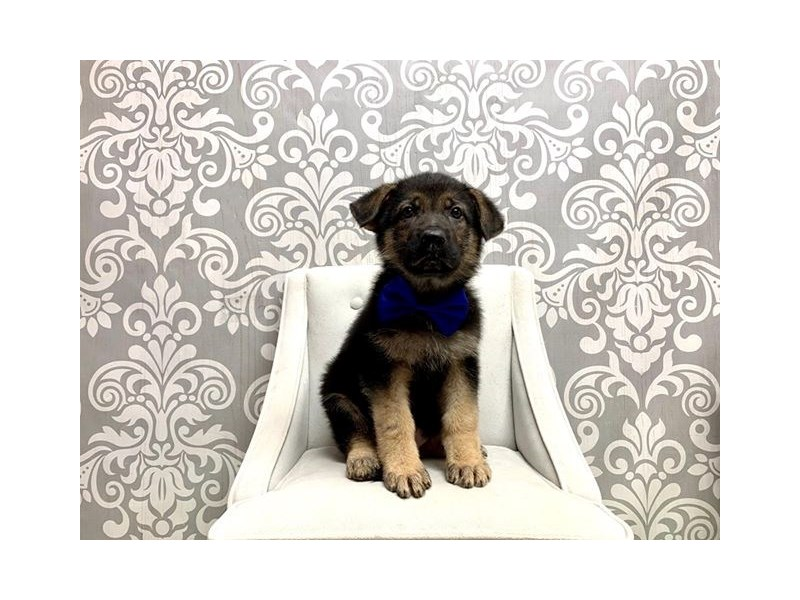 German Shepherd-Male-Black and Tan-2624868-Furry Babies