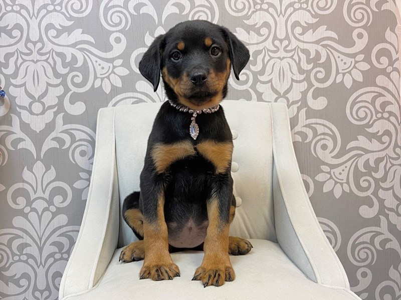 Rottweiler-Female--2636137-Furry Babies