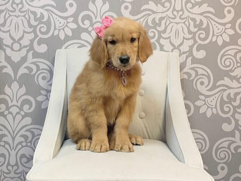 Golden Retriever-Female-Golden-2639574-Furry Babies