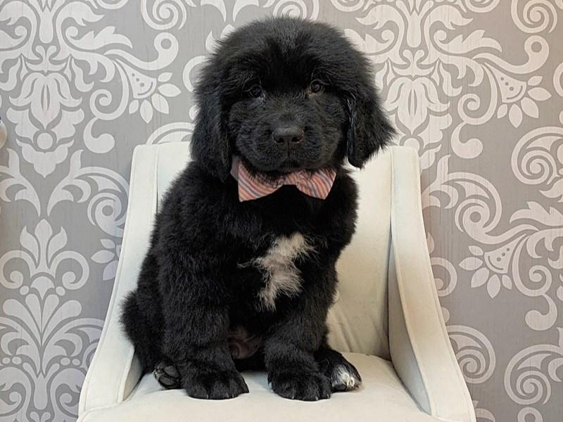 Newfoundland-Male-Black-2647477-Furry Babies