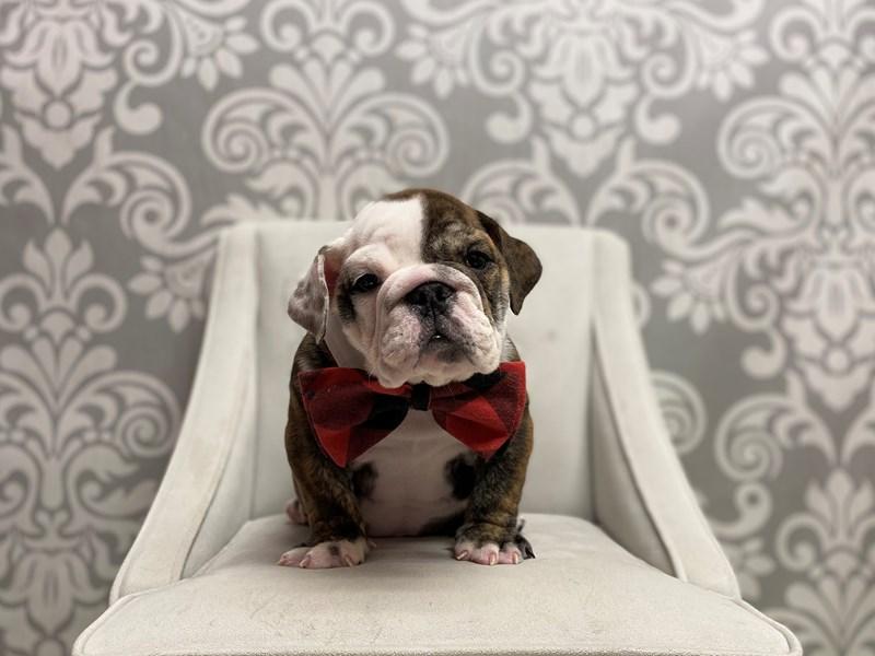 English Bulldog-Male-Brindle-2651108-Furry Babies