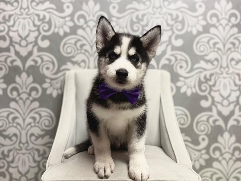 Siberian Husky-Male-Black White-2647424-Furry Babies