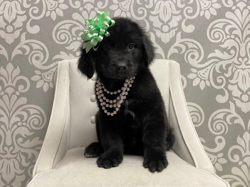 Newfoundland-Female-Black-2647483-Furry Babies