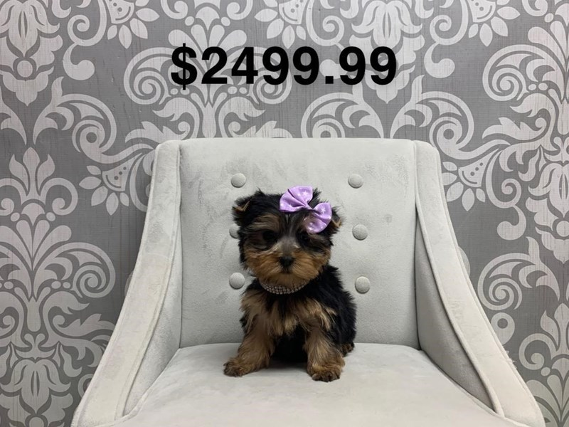 Yorkshire Terrier-Female-Black and Tan-2659315-Furry Babies