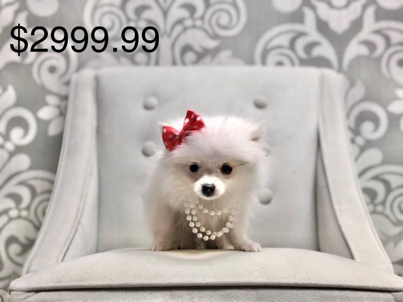 Pomeranian-Female-SABLE-2667319-Furry Babies