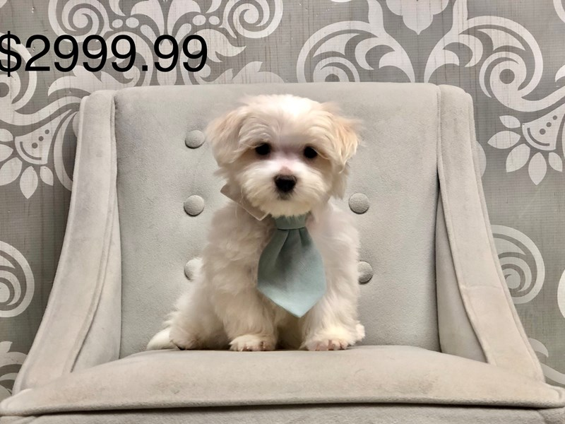 Maltese-Male-White-2668606-Furry Babies