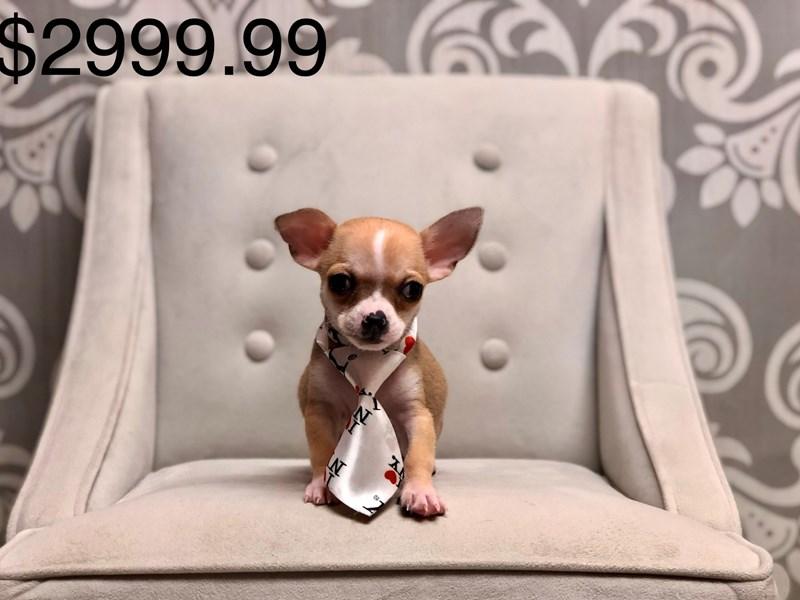 Chihuahua-Male-Fawn-2668575-Furry Babies