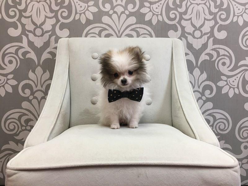 Pomeranian-Male-SABLE-2667318-Furry Babies