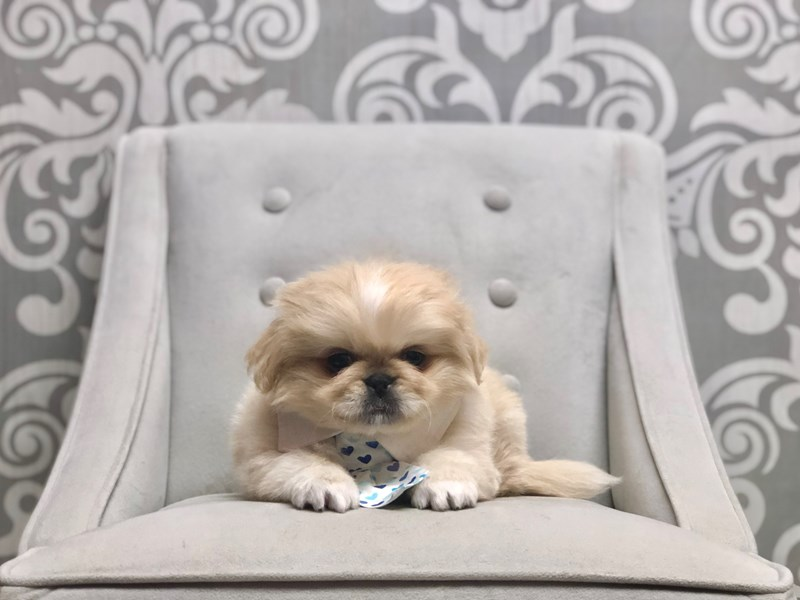 Pekingese-Male-Cream-2696602-Furry Babies