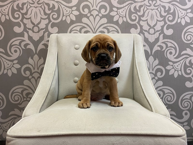 Puggle-Male-Red-2722826-Furry Babies