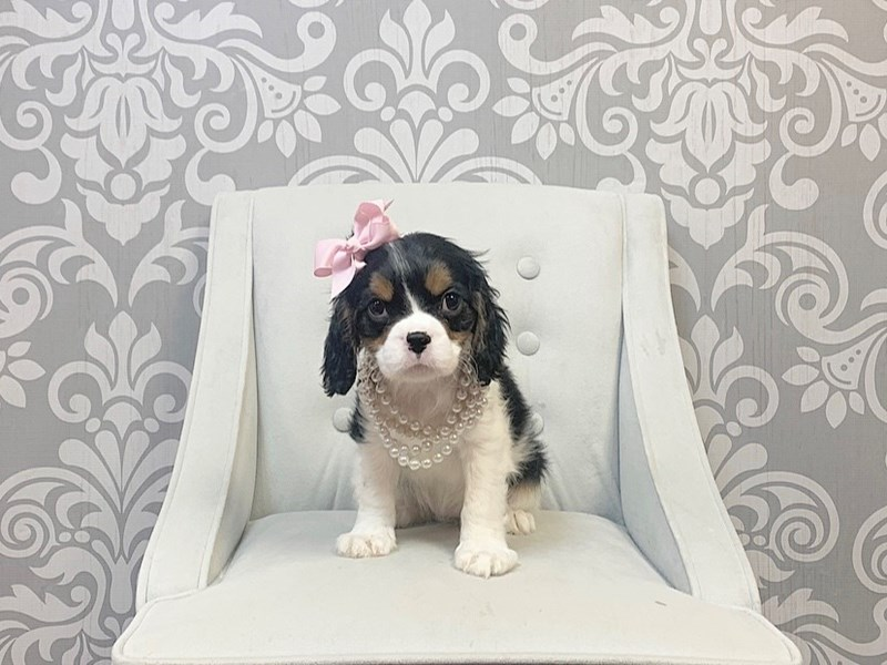 Cavalier King Charles Spaniel-Female--2724500-Furry Babies