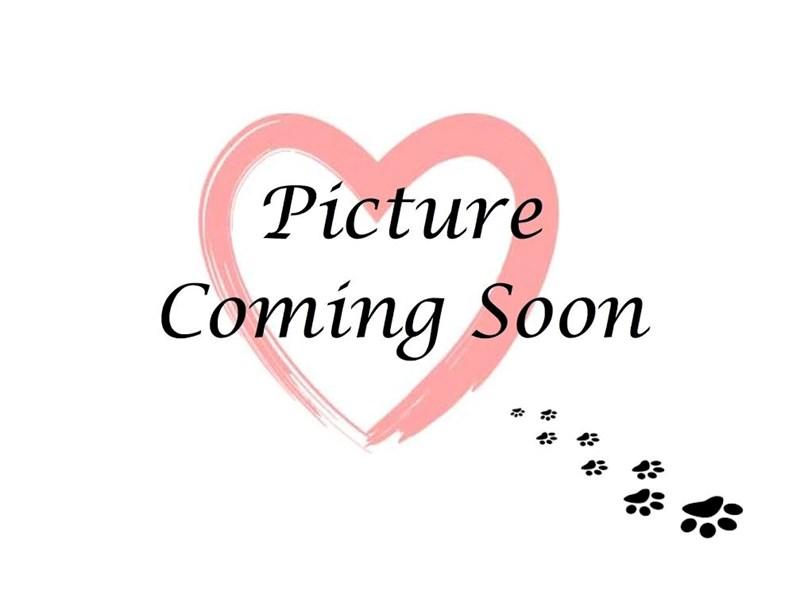 Pomsky-Male-Black & White-2763893-Furry Babies