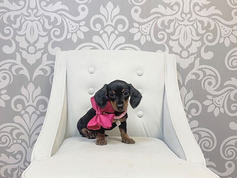 Dachshund-Female--2767641-Furry Babies