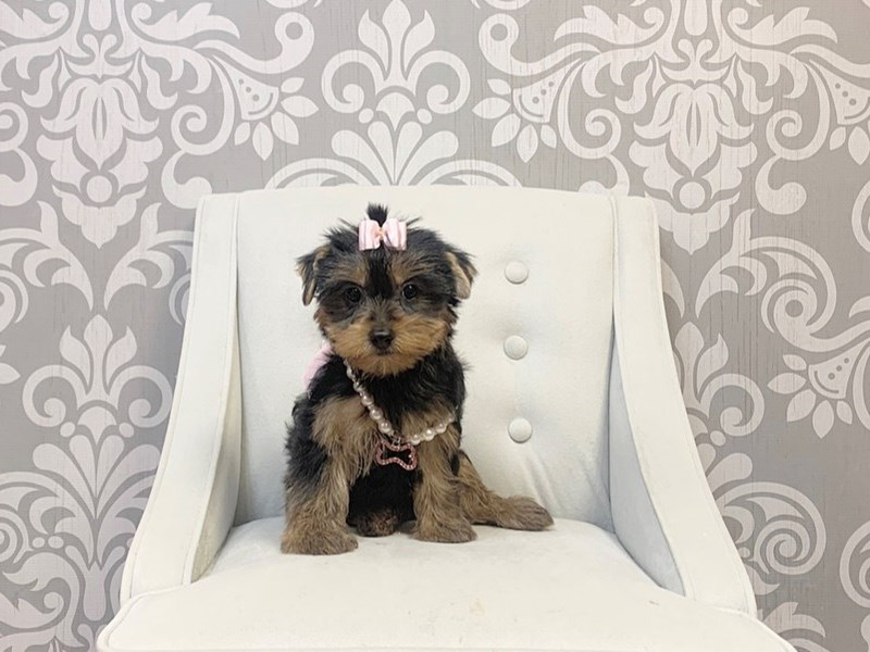 Yorkshire Terrier-Female-Black and Tan-2766040-Furry Babies