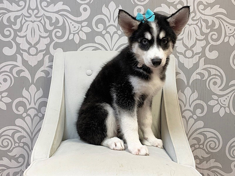 Siberian Husky-Female--2775337-Furry Babies