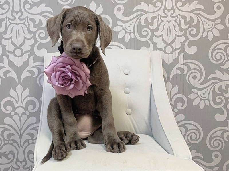 Labrador Retriever-Female-Silver-2790520-Furry Babies