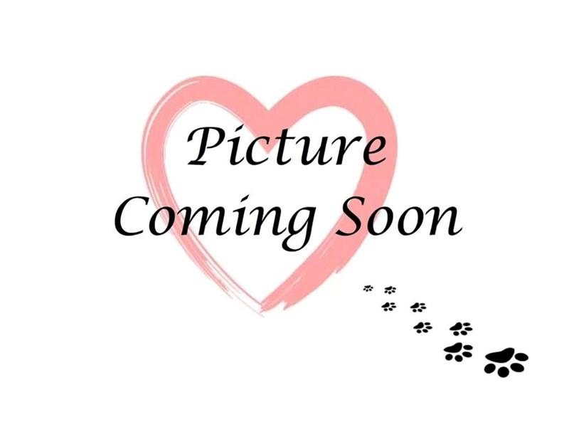 Old English Sheepdog-Female-Black White-2808480-Furry Babies