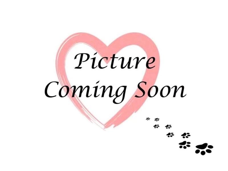 Golden Retriever-Male-LIGHT GOLDEN-2838986-Furry Babies