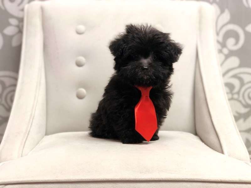 Yorkiepoo-Male-Black-2848818-Furry Babies