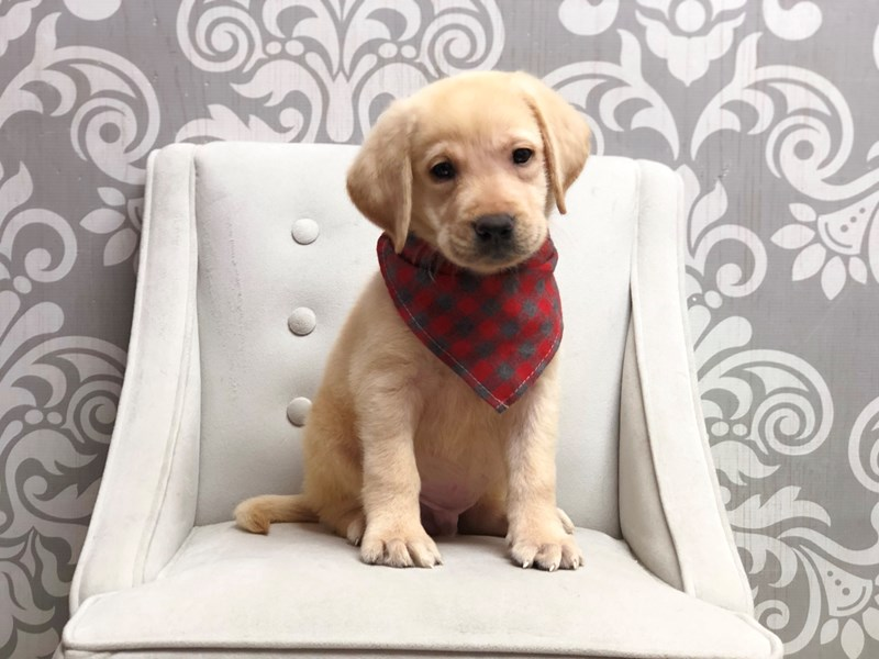 Labrador Retriever-Male-Yellow-2848815-Furry Babies