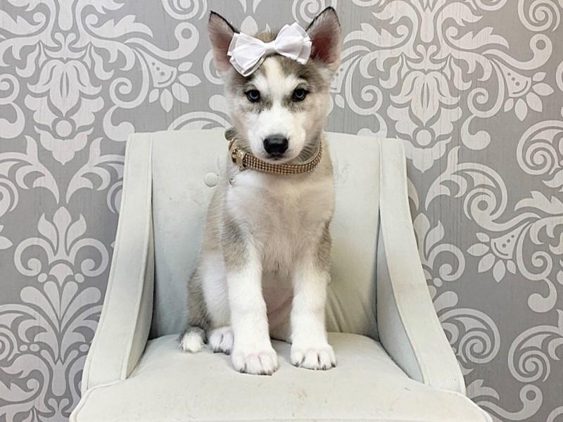 Siberian Husky-Female--2856906-Furry Babies