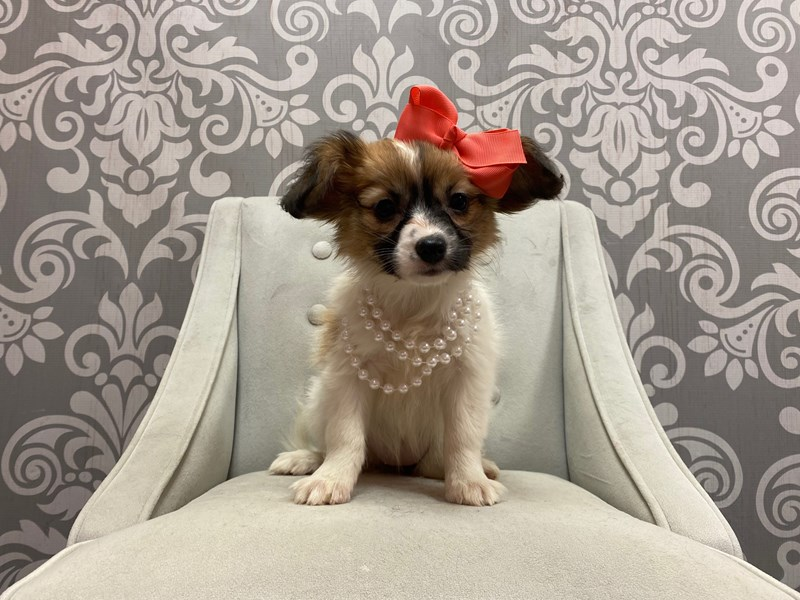 Papillon-Female-SABLE WH-2875977-Furry Babies