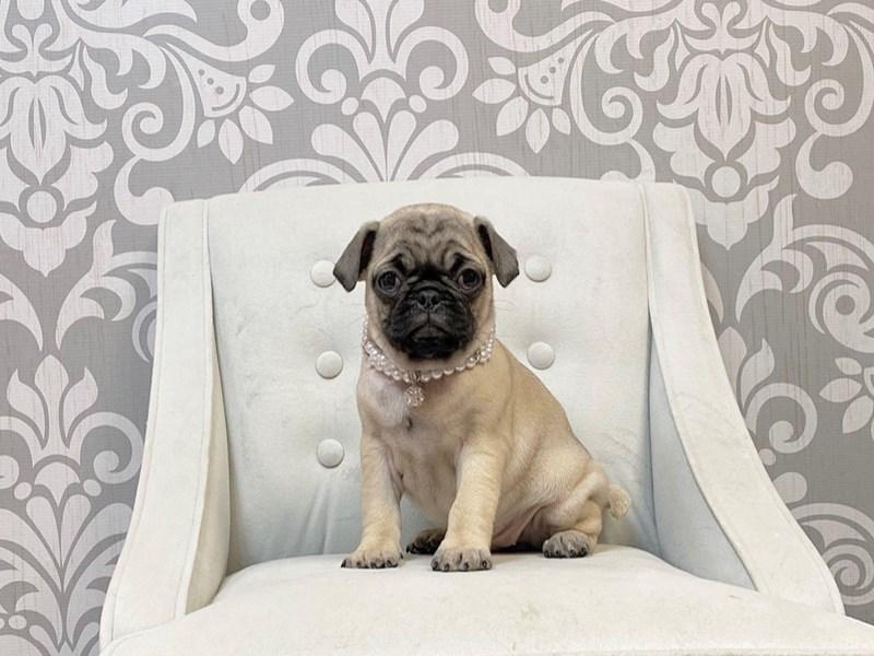 Pug-Female-FAWN-2876299-Furry Babies