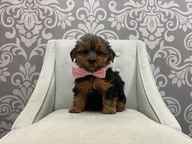 Yorkshire Terrier-Male-BLK TAN-2875732-Furry Babies