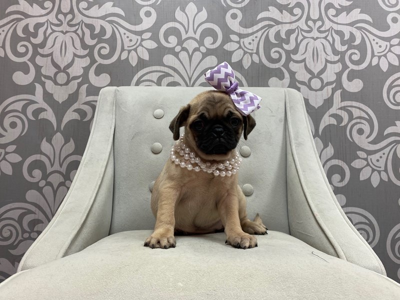 Pug-Female-FAWN-2876282-Furry Babies