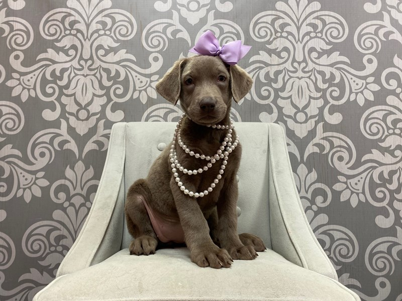 Labrador Retriever-Female-Silver-2885262-Furry Babies