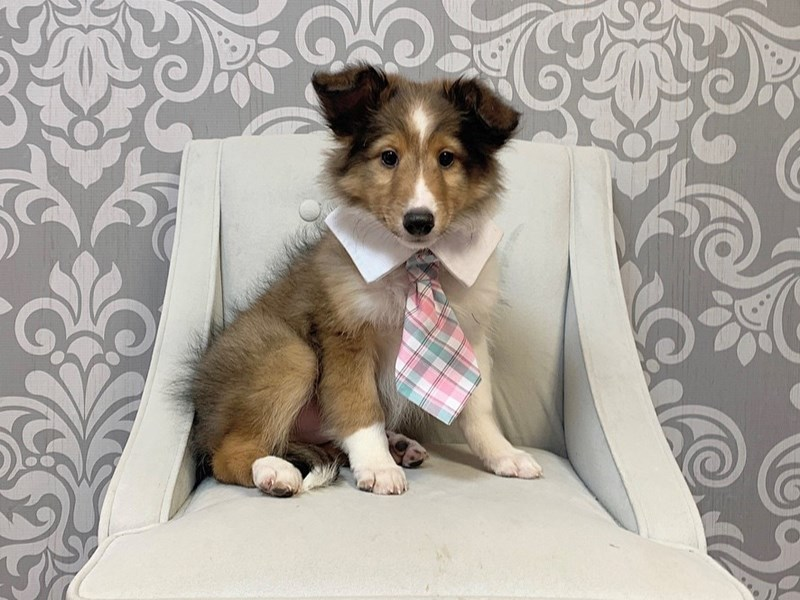 Shetland Sheepdog-Male-Sable White-2889533-Furry Babies