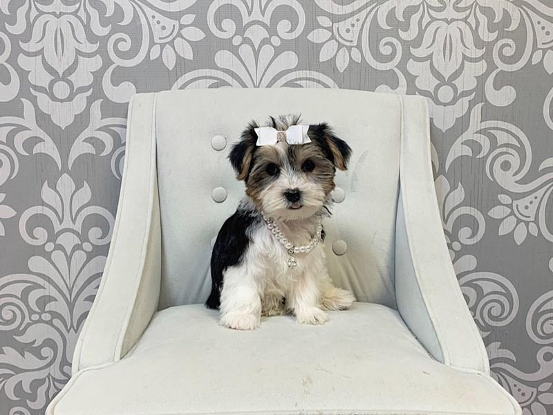 Yorkshire Terrier-Female-PARTI-2889203-Furry Babies