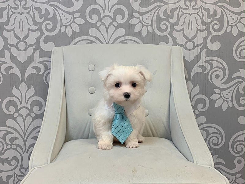Maltese-Male-WHITE-2889603-Furry Babies