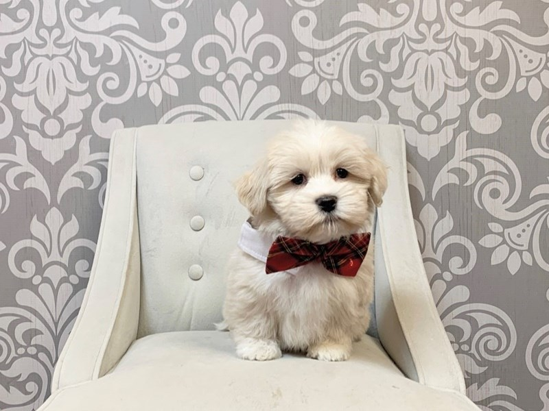 Lhasa Apso-Male-CREAM WH-2896044-Furry Babies