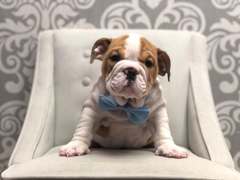 English Bulldog-Male-White and Tan-2899094-Furry Babies