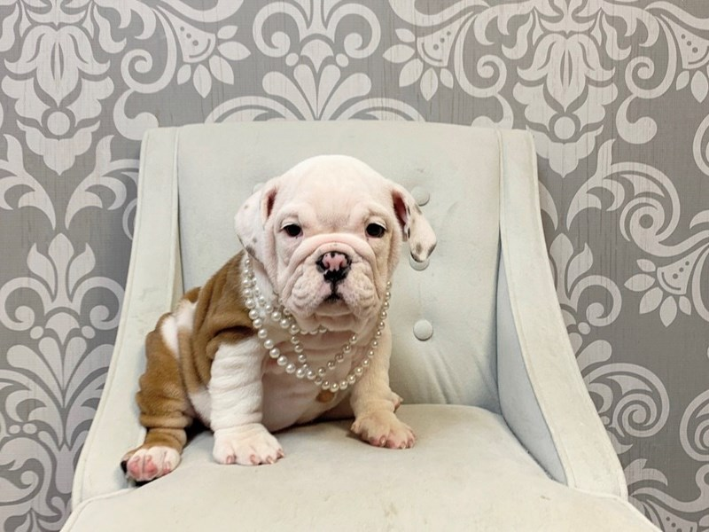 English Bulldog-Female--2899943-Furry Babies
