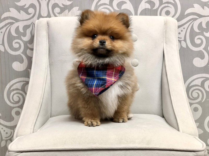 Pomeranian-Male-SABLE-2903344-Furry Babies