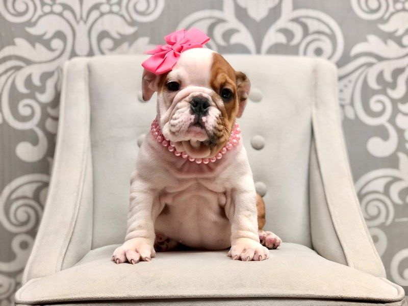 English Bulldog-Female-White and Tan-2906508-Furry Babies