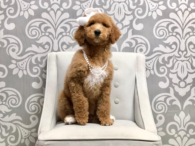 Poodle-Female-Red-2913317-Furry Babies