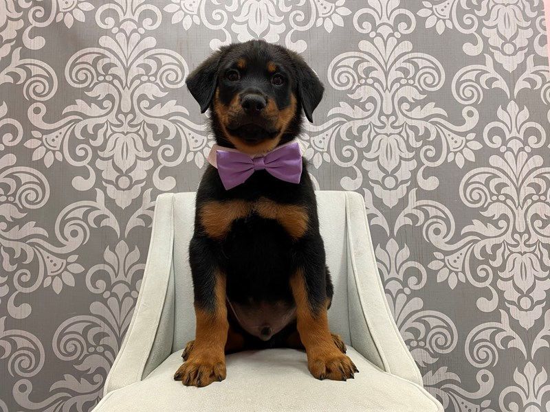 Rottweiler-Male-Black & Mahogany-2912698-Furry Babies