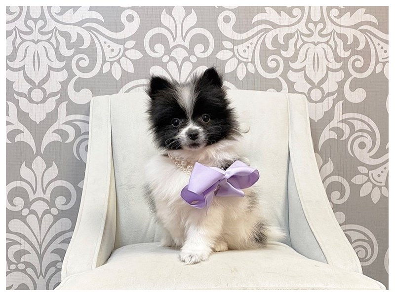 Pomeranian-Female--2913891-Furry Babies