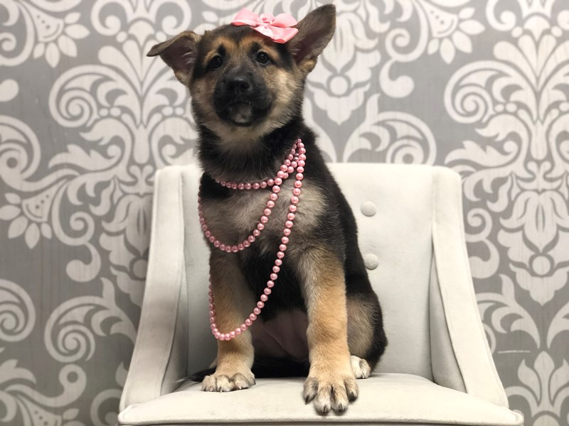 German Shepherd-Female-Black Tan-2910953-Furry Babies