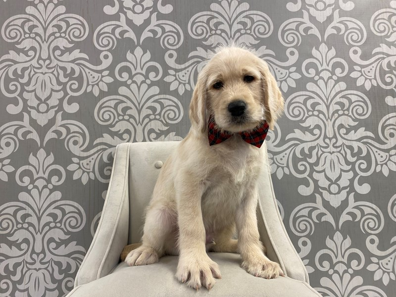 Labradoodle-Male-Chocolate-2903301-Furry Babies
