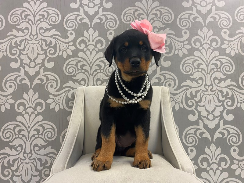 Rottweiler-Female-Black & Mahogany-2912722-Furry Babies