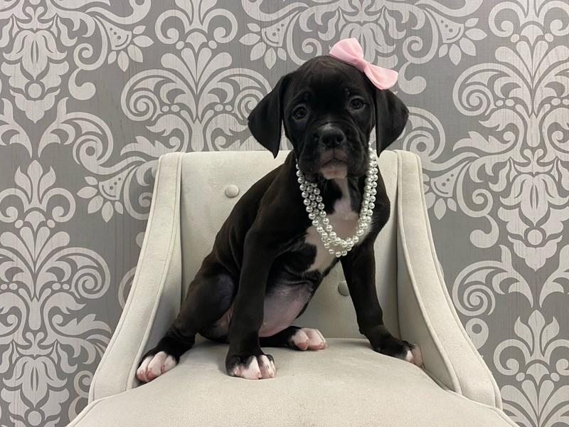 Boxer-Female-Black & White-2910812-Furry Babies