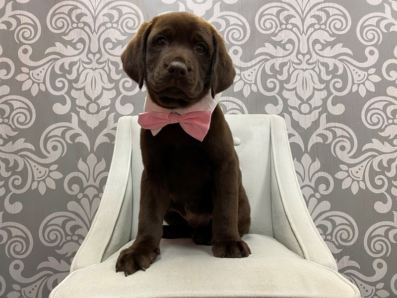 Labrador Retriever-Male-Chocolate-2910927-Furry Babies